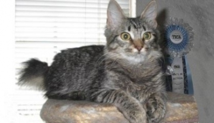 Americký kočička obrázky