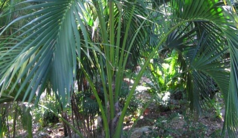 Howea belmoreana - kentia