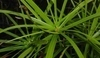 Cyperus alternatifolius.