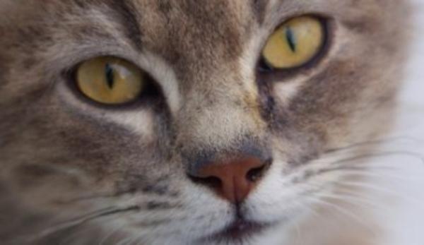 Kočičí plemena které jsou nejčastěji nemocné chovatelka cz
